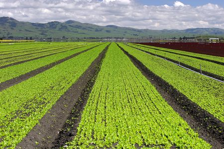 Wide angle view of rows of green and red lettuce. Picture taken on the central coast of California, USA