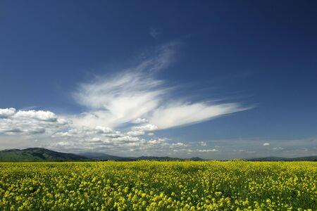 A field of wild mustard under a deep blue  California sky.