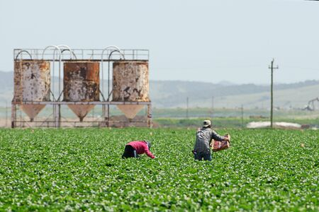 Two migrant farmworkers perform backbreaking work picking strawberries along the centeal coast of California