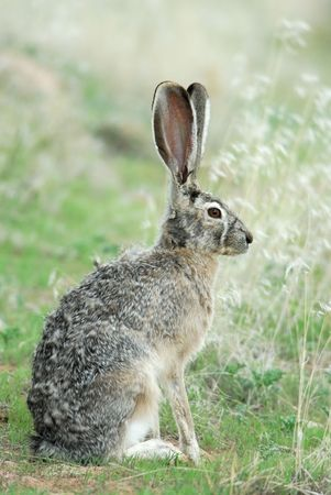 A wild blacktailed jack rabbits sits quietly in the grass. photo