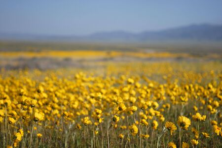 A beautiful photograph of a field of yellow wildflowers. photo