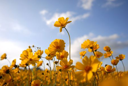 A bugs eye view of yellow wildflowers photo