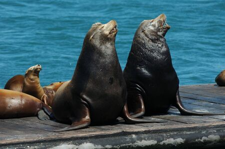 A pair of wild California Sea Lions and their pups