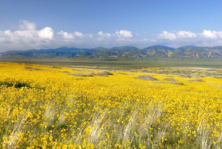 Vast fields of yellow coreopsis flowers and green hillsides