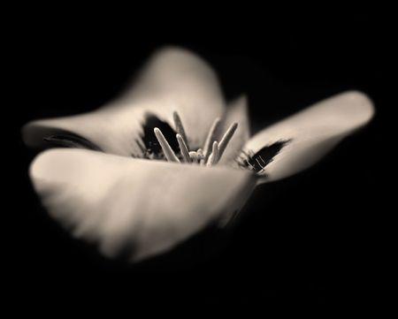 A sepia toned black and white image of a Mariposa Lily. Image has a grainy, artistic, dreamlike quality to it, with a purposeful shallow depth of field.