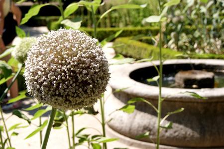 garlic flower with fountain botanical garden