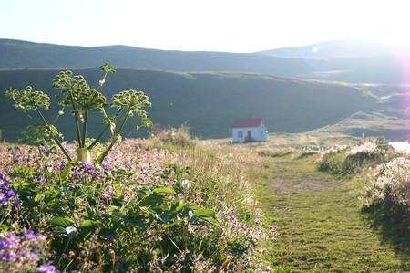 Angelica spring plants hornstrand ir iceland