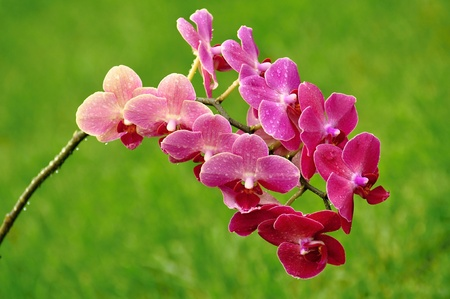 Beautifully blooming purple orchid on green background
