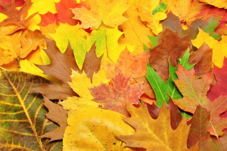 nov: Beautiful, many colorful autumn leaves forming a background