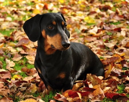 Little black dachshund on autumn garden with leaves