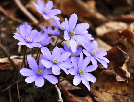 Light blue spring flowers growing in early spring