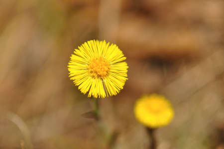 Small beautiful coltsfoot flower with blurry brown background