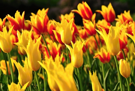 Field of yellow and red tulips blooming at sunset