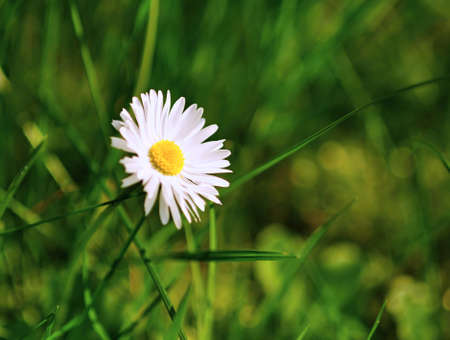 Small beautiful daisy flower with blurry green background photo