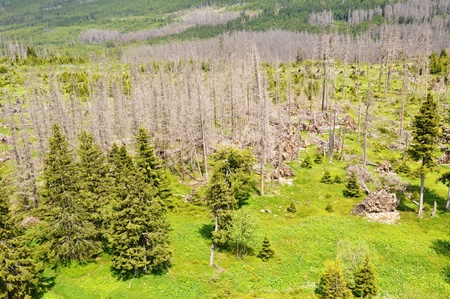 Damaged environment - forest destroyed by bark beetle