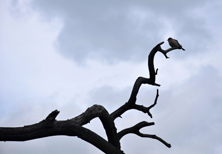Silhouette of the small bird on dry tree with sky photo