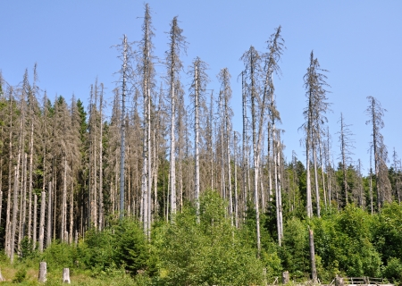 Damaged environment - forest destroyed by bark beetle Stock Photo - 21455277
