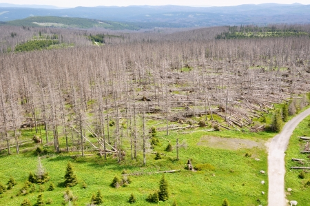 Damaged environment - forest destroyed by bark beetle photo