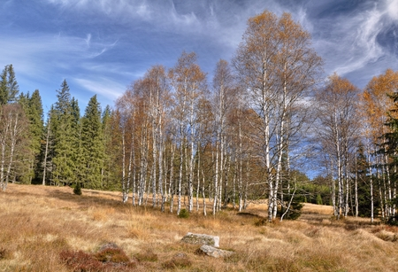Beautiful autumn birches in the dry grass under blue sky photo