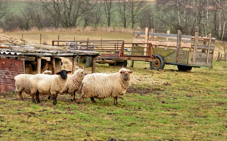 A small flock of sheep grazing on small farmers photo