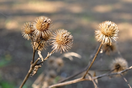 Dry thistle in the autumn afternoon sun on a blurred background