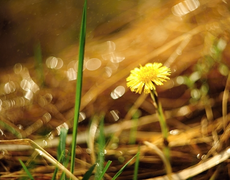 Lone coltsfoot on a beautifully blurred background with grass photo