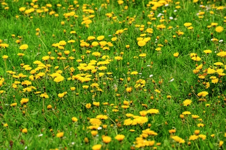 The field of beautiful small flowering yellow dandelions