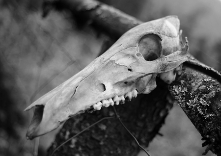 fondo blanco y negro: Cr�neo animal de un animal muerto en el bosque - negro - blanco Foto de archivo
