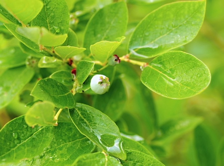 blueberry bushes: Unripe little green blueberry bushes in the garden with dew