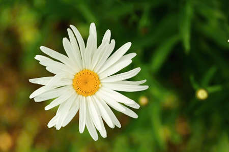One daisy flower on blurred grass - background Stock Photo