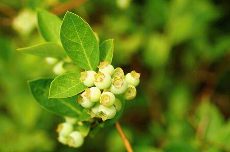 blueberry bushes: Unripe little green blueberry bushes in the garden