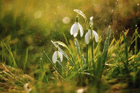 Beautiful snowdrops spring with little rain and sun