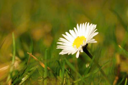 daisie: Bello e fresco daisie in erba di primavera e il sole