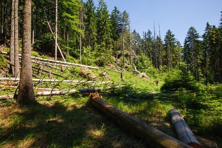 Fallen trees after a storm in the forest