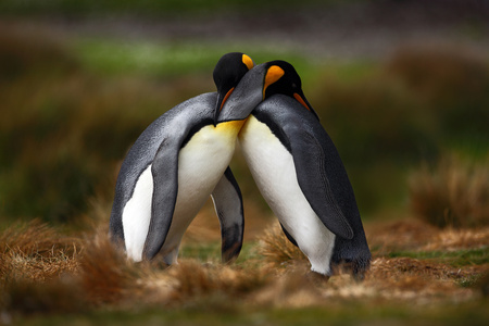 King penguin couple cuddling in wild nature with green background 스톡 콘텐츠