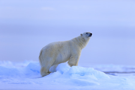 snow drift: Big polar bear on drift ice with snow, blurred sky in background, Svalbard, Norway