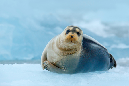 Bearded seal on blue and white ice in Arctic Russia, with lift up fin