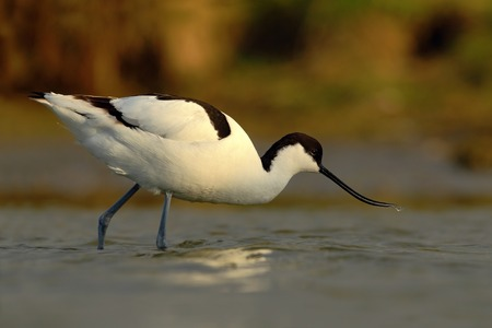 wader: Black and white wader bird Pied Avocet, Recurvirostra avosetta, in water, Texel, Holland Stock Photo