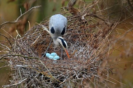 Grey heron, Ardea cinerea, in nest with four eggs, nesting time Stockfoto