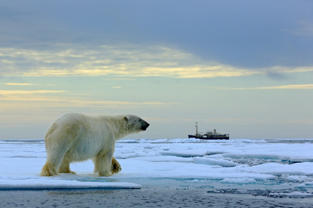 Polar bear on the drift ice with snow, blurred cruise vessel in background, Svalbard, Norway