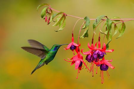 Green hummingbird Green Violet-ear, Colibri thalassinus, flying next to beautiful pink and violet flower, Savegre, Costa Rica