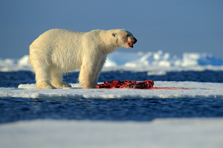 snow drift: White polar bear on drift ice with snow feeding kill seal, skeleton and blood, Svalbard, Norway Stock Photo
