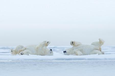 白い動物自然生息地、カナダの雪と流氷でリラックスして横になっている 2 つのシロクマ 写真素材