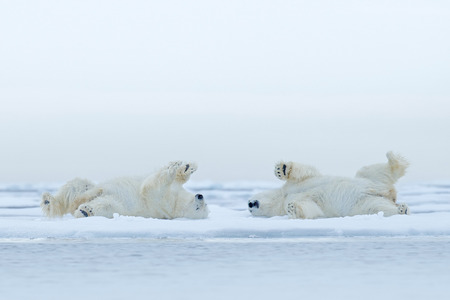 Two Polar bear lying relax on drift ice with snow, white animals in the nature habitat, Canada Фото со стока