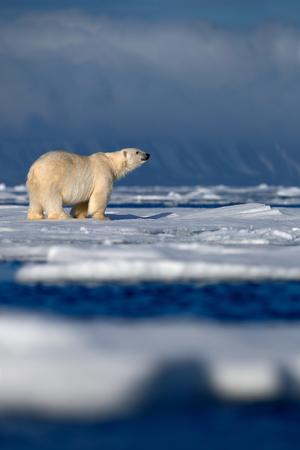 oso blanco: Gran oso polar de hielo a la deriva de nieve, borrosa montaña nevada en el fondo oscuro, Svalbard, Noruega
