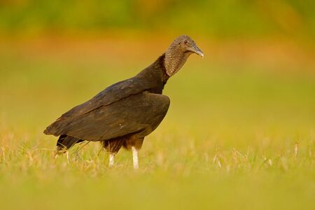 unsightly: Ugly black bird Black Vulture, Coragyps atratus, sitting in the green grass, Pantanal, Brazil