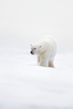 Big polar bear on drift ice with snow, clear white photo, Svalbard, Norway