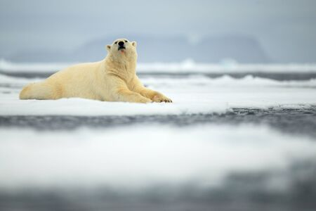 polar environment: Lying polar bear on drift ice arctic Svalbard