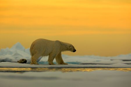 Polar bear on the drift ice with snow, with evening yellow sun, Svalbard, Norway