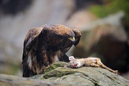 Golden Eagle, Aquila chrysaetos, feeding on kill Deer in the rock stone mountains Stock Photo